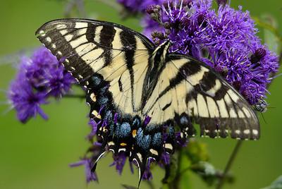 Eastern Yellow Sallowtail on purple flower