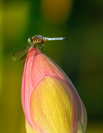 Dragon Fly on Lotus