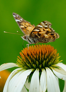 Beautiful American Lady on White Cone Flower