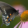 Beautiful Black Swallowtail on Purple Cone Flower