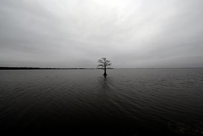 mattamuskeet tree