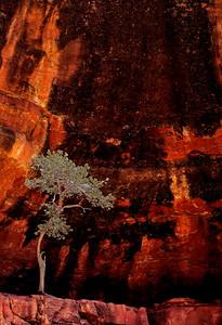 Pinyon Pine, Catherdral Rock, Sedona Arizona 2017