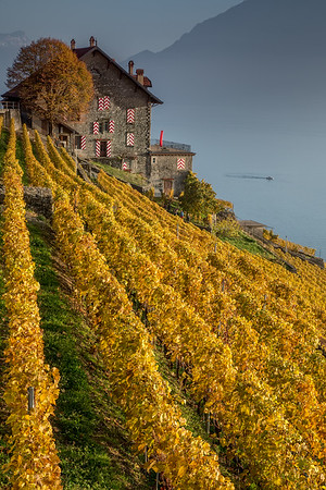 Winemakers in Lavaux. Autumn vineyards around a Cave in Epesses, Lavaux, Leman lake in Switzerland. UNESCO World Heritage.