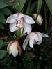 Ragini's Orchids