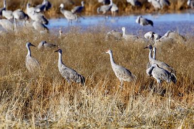Sandhill Cranes Just Hanging Around