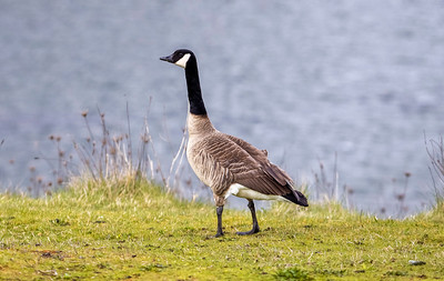 Hockey Goose From Canada Is Spoiling For a Fight
