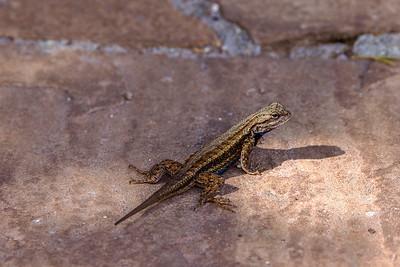 Lizard Pausing