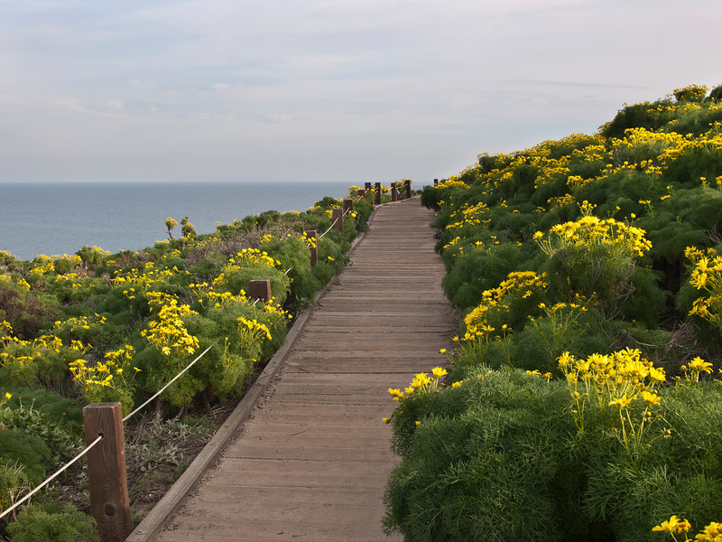 Giant coreopsis, Point Dume DP