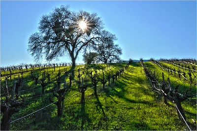 Sonoma Vineyard 1