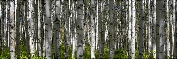 Aspen Grove0008-2
