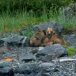 Glacier Bay sow nursing yearling cubs