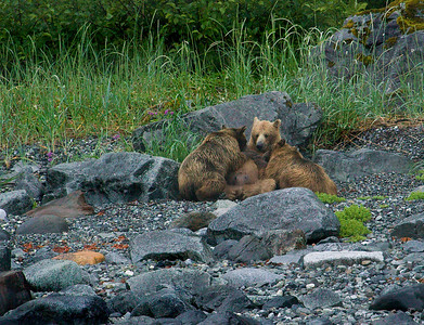 Glacier Bay sow nursing yearling cubs