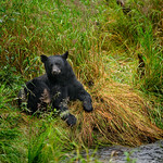 Mendenhall bear 1