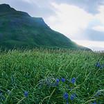 Field of monkshood under Mt. Ballyhoo