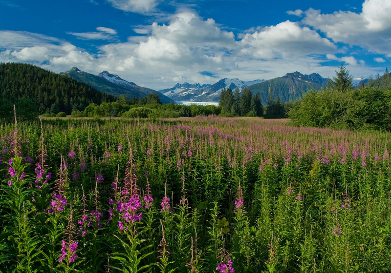 fireweed and Mendenhall Glacier 1
