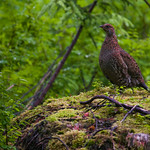ptarmigan at Bartlett Cove