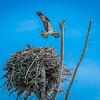 Fort Myers Osprey