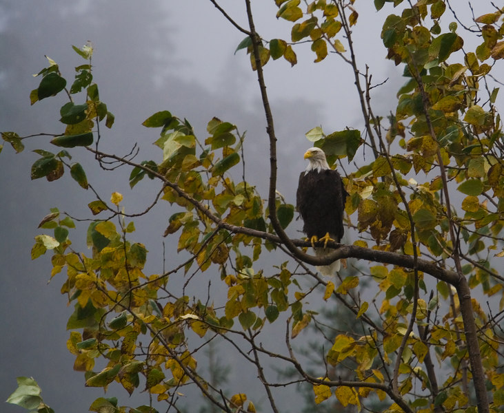 eagle on Boy Scout trail