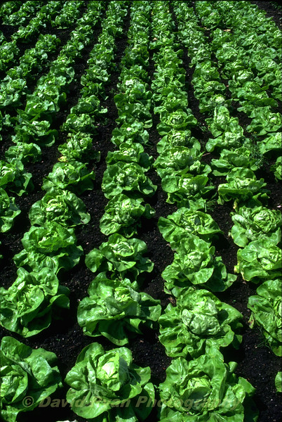 Rows of Lettuce