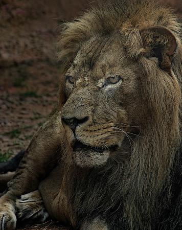 captive lion