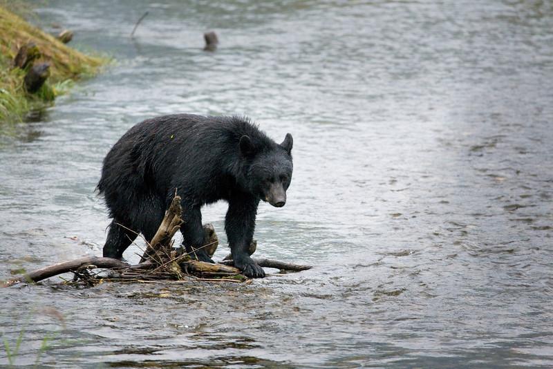 Mendenhall bear 2