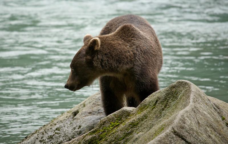 Haines Bear 8