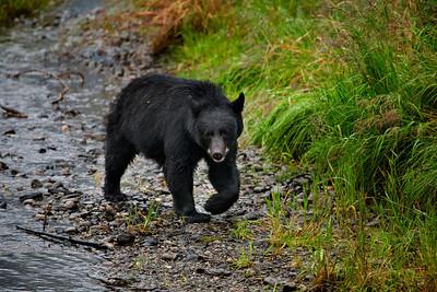 Mendenhall bear 4