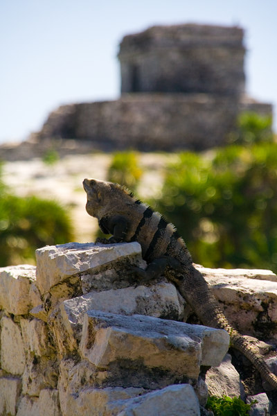 Tulum iguana 1