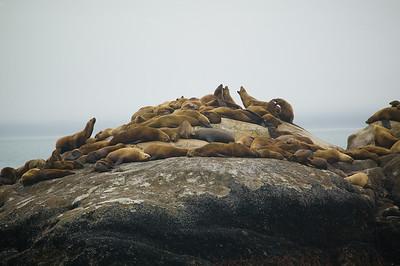 Glacier Bay rookery 2
