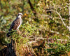 Osprey -  Great Bear Rain Forest