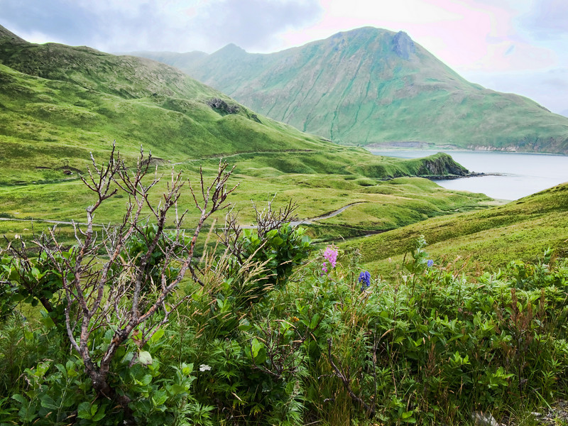 Fireweed and monkshood look out at Mt. Coxcomb and Morris Cove, Unalaska