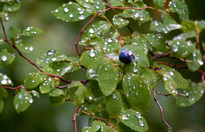 blueberry dew