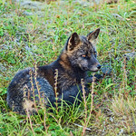Arctic fox, Unalaska