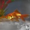 Ryan's Goldfish