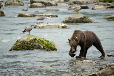 Haines Bear 2