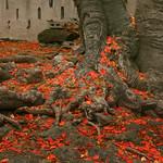 flamboyant tree, Tortola
