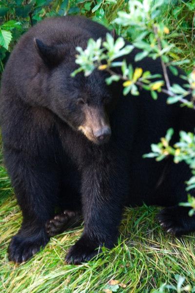 black bear at Mendenhall