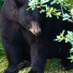 black bear at Mendenhall