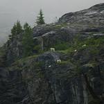 Glacier Bay mountain goats