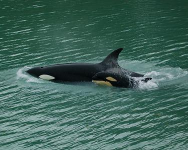 Glacier Bay orca with calf