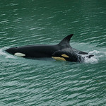 Glacier Bay orca with calf