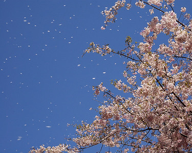 Sakura in the wind.