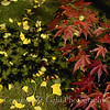 Acer Shadow Ginkgo Moss