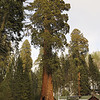 Sequoia Giant
