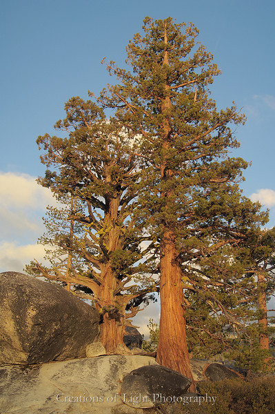 Old Pine and Juniper