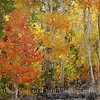 Red and Gold Aspens