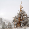 Ancient Bristlecone in Snow