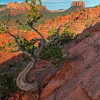 The Gnarled Juniper