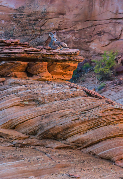 The Resting Bighorn