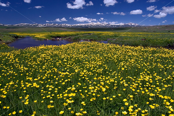Alpine Wildflowers, Selim Highlands